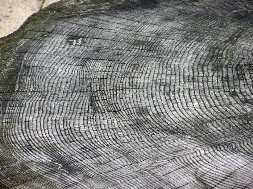 A picture showing the growth rings of an unknown tree species at Bristol Zoo in the United Kingdom