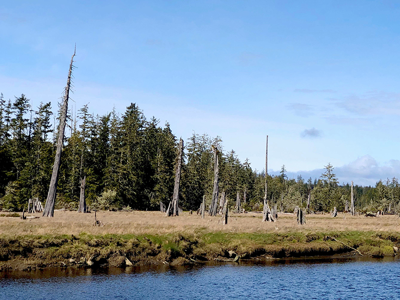 Dead tree trunks and stumps stand along a shoreline