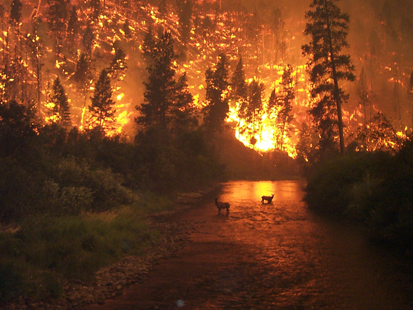 Elk wade in the East Fork of Bitterroot River in Montana during a wildfire in August 2000.
