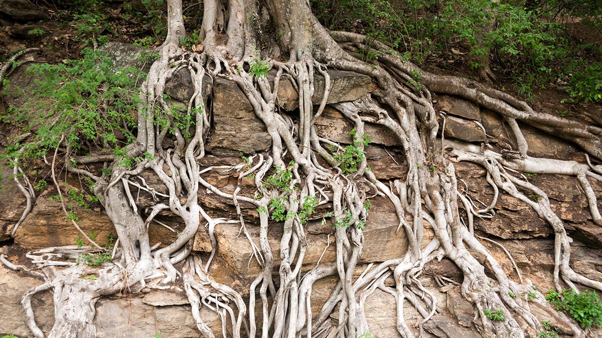 Tree roots growing through rocks