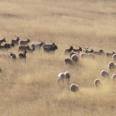 troupeau de moutons - Eourres