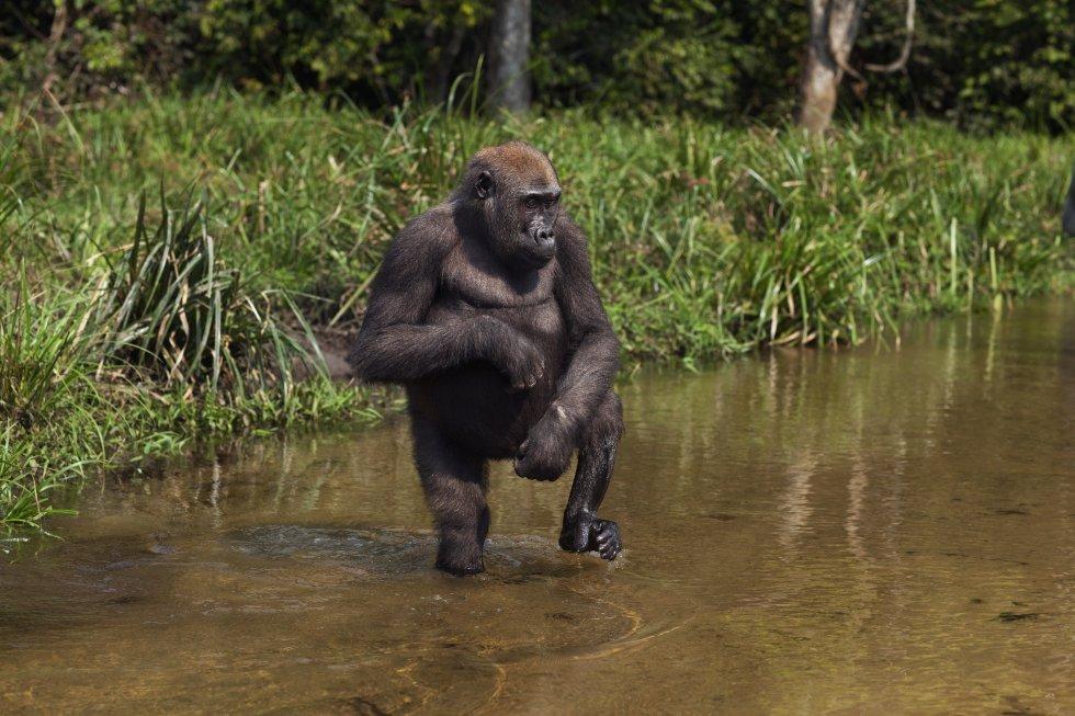 Tanto os gorilas-do-rio-cross ('Gorilla gorilla diehli', subespécie do gorila-do-ocidente, 'Gorilla gorilla'), com menos de 300 exemplares, quanto os gorilas-do-oriente ('Gorilla beringei'), com 5.000, estão classificados como espécies em perigo crítico de extinção na Lista Vermelha da UICN. Esses símios africanos são capturados vivos e vendidos para ser mantidos em cativeiro, ou então são mortos para o consumo de sua carne. Muitos desses animais acabam morrendo ao serem transportados, submetidos a grande estresse ou vítimas de doenças. Na imagem aparece um gorila ocidental de seis anos na República Centro-Africana.