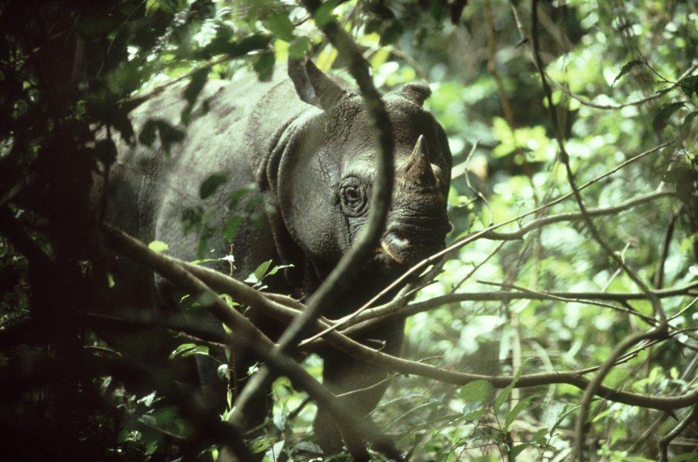 A União Internacional para a Conservação da Natureza estima que só existam cerca de 50 rinocerontes de Java ('Rhinoceros sondaicus'). Estes exemplares, que vivem na Indonésia, são vítimas da caça ilegal destinada ao comércio dos chifres de rinoceronte. O Fundo Mundial para a Natureza (WWF) alerta que o chifre pulverizado é utilizado na medicina tradicional asiática como cura para as mais variadas doenças: ressacas, febres e até câncer.