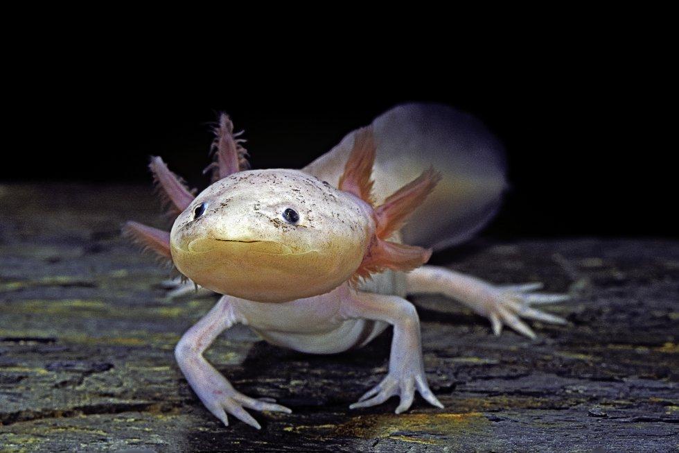 O axolote ('Ambystoma mexicanum') é endêmico do México e está em perigo crítico de extinção pela contaminação das águas em que vive. Seu hábitat são lagos e canais de águas pouco profundas com muita vegetação aquática. A IUCN assinala que atualmente existem menos de 100 exemplares. Este anfíbio também está ameaçado pela introdução de espécies de peixes que competem com ele ou são seus predadores.