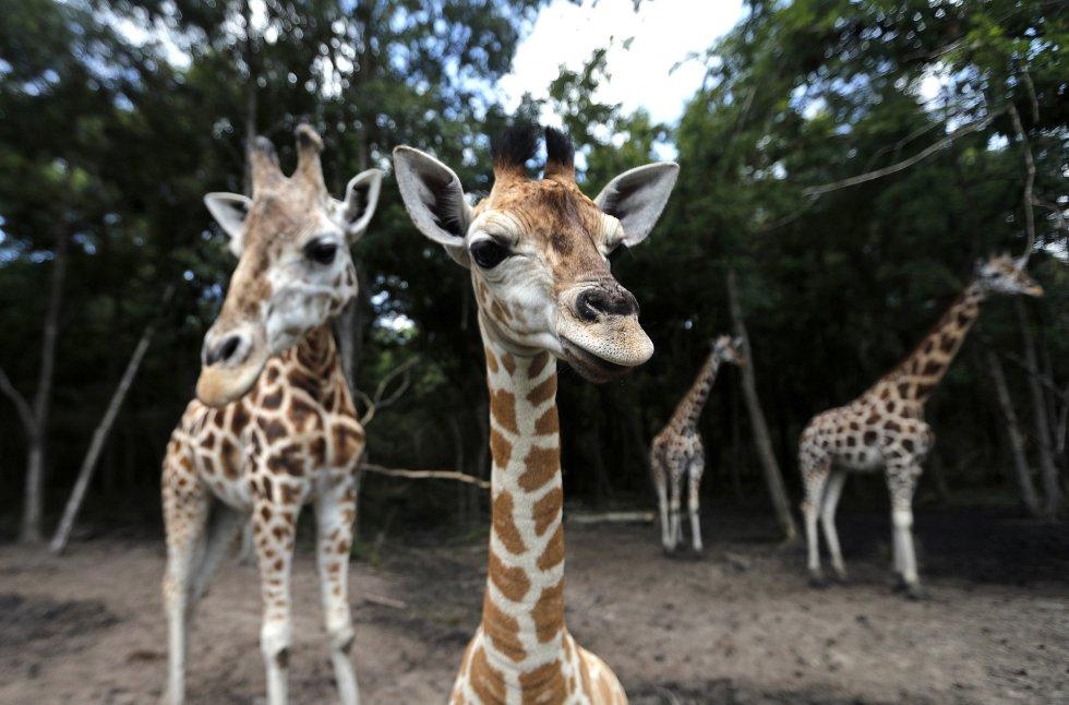 Un becerro de jirafa, en primer plano, muestra su curiosidad por la cámara junto a su madre Sue Ellen, de 15 años, en el Audubon Species Survival Center de Nueva Orleans.