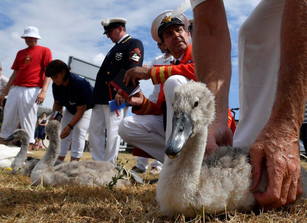Los funcionarios registran y examinan cygnets y cisnes durante el censo anual de los cisnes de la reina, conocido como 'Swan Upping', a lo largo del río Támesis, cerca de Chertsey (Reino Unido).
