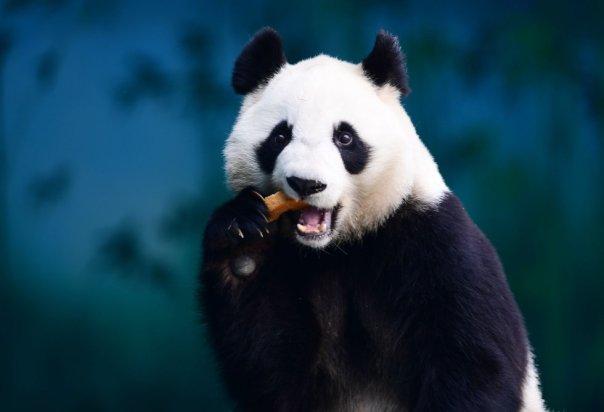 Un panda come en el Jardín Zoológico de Shenyang Forest en Shenyang (China), en mayo de 2018.