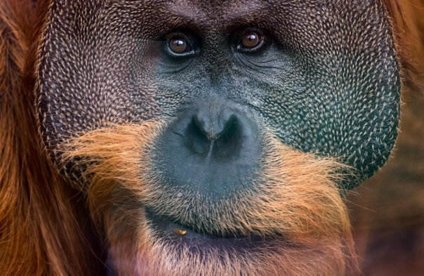 Retrato de Pongo, un orangután del zoo de Dresden (Alemania), en junio de 2018.