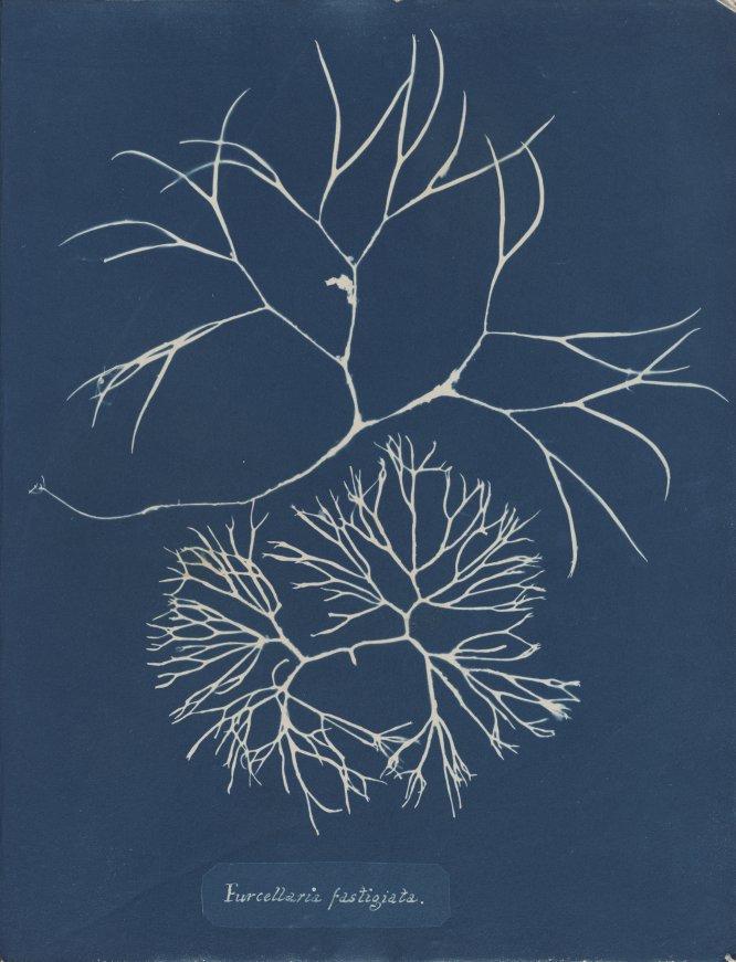 Furcellaria fastigiata, de la Parte IV de Photographs of British Algae- Cyanotypes Impressions, 1846