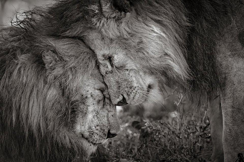 Dos leones machos adultos, probablemente hermanos, se saludan frotando sus caras durante 30 segundos. La foto ha sido tomada en Ndutu, Serengeti (Tanzania). 'Vínculo de hermanos' es la imagen ganadora del 'Wildlife Photograper of the Year 2018'.