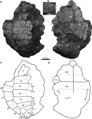 Polysternon Isonae Fossils