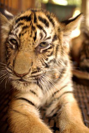 Los tigres de las granjas chinas sufren a menudo enfermedades. Rara vez se tratan porque valen más muertos que vivos. / ZIGOR ALDAMA