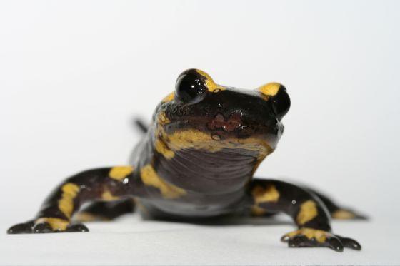 Salamandra con las lesiones que produce en hongo