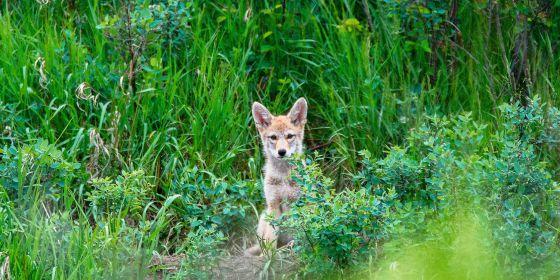 El ADN del coywolf (en la imagen, fotografiado en Alberta, Canadá) es una síntesis de tres especies: lobo, coyote y perro.