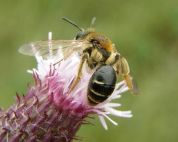 Solo unas pocas especies, como la 'Andrena dorsata', han aumentado sus poblaciones en lo que va de siglo.