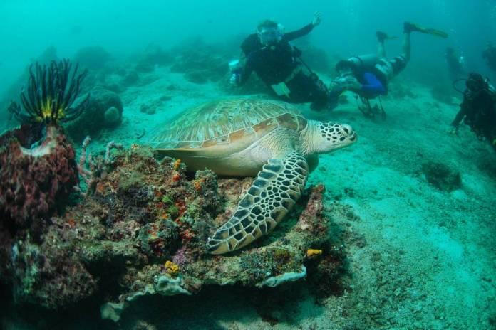 Tortuga carey en aguas de la isla de Sipadán (Malasia).