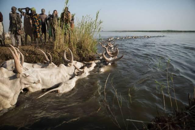 Un rebaño de vacas cruza el Nilo Blanco, Sudán del Sur.