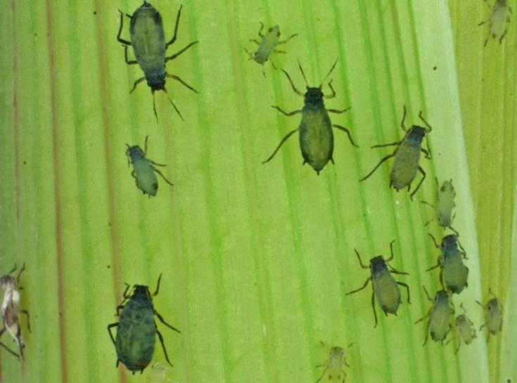 Plaga del afidio del maíz, una de las que se investiga.