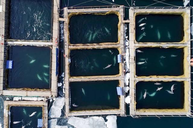 Imagen aérea de los corrales marinos donde están las ballenas y las orcas en el lejano oriente ruso.