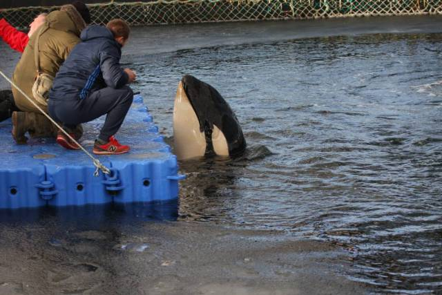 Una orca en uno de los corrales marinos en una imagen tomada por la ONG Sakhalin Environment Watch a finales de enero.