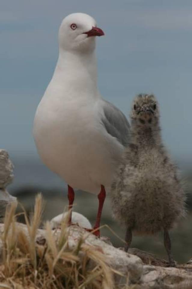 Para saber se há resposta adaptativa às mudanças do clima é preciso analisar as populações durante muitas gerações, como o estudo que já dura 54 anos das gaivotas-de-bico-vermelho da península de Kaikoura, na Nova Zelândia.