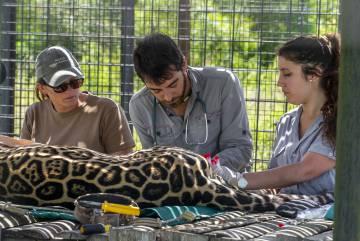 Rewilding Argentina staff controls a copy of yaguareté.