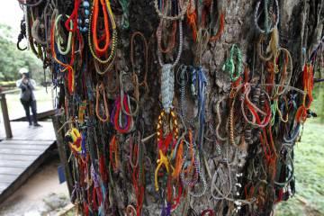 El árbol conocido como 'Killing Tree', en el que los hijos de los acusados de crímenes contra el régimen eran azotados hasta la muerte.