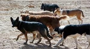 perros asilvestrados