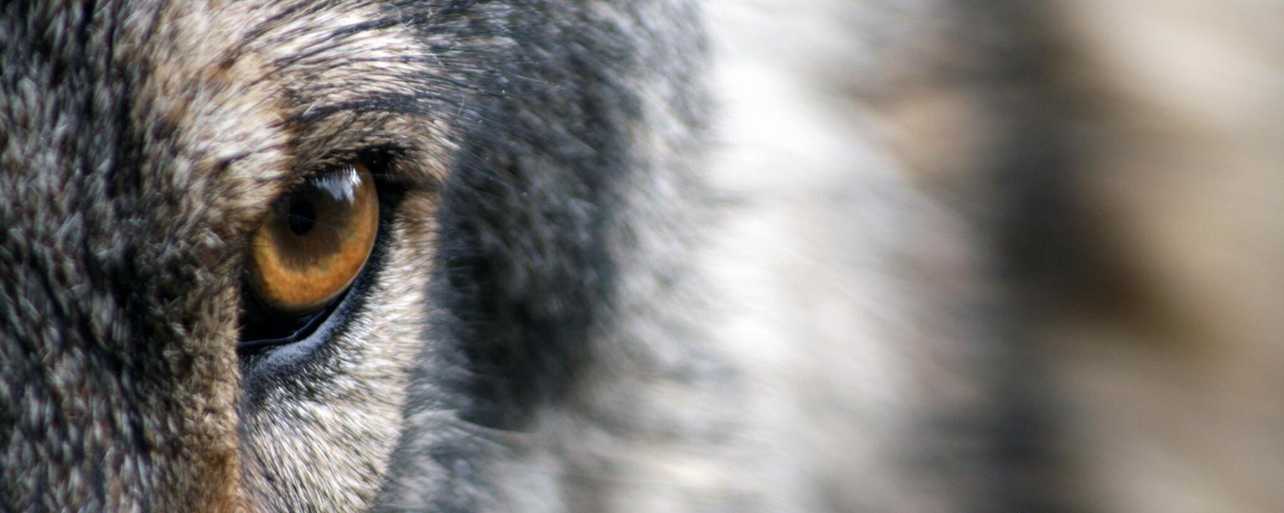Wolf Event Header