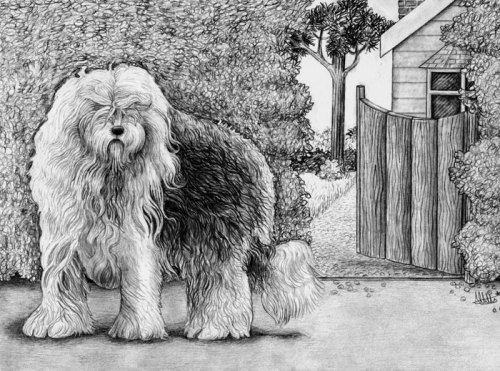 Old English Sheepdog Pencil Drawing by Amy Letts Pet Portraits