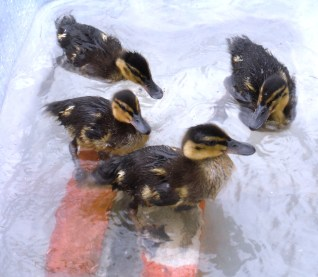 Ducklings first swim.