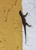 Garden Lizard - Amelia Island