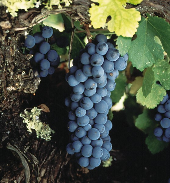 Zin.Grapes