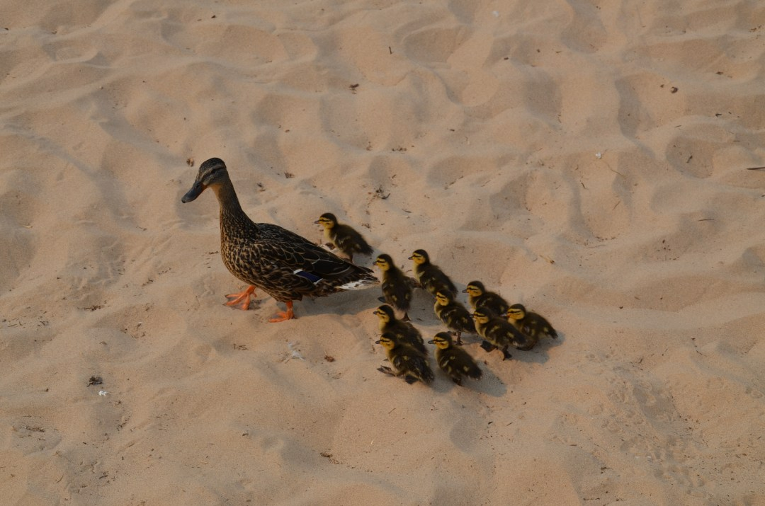 Ducks on the beach.