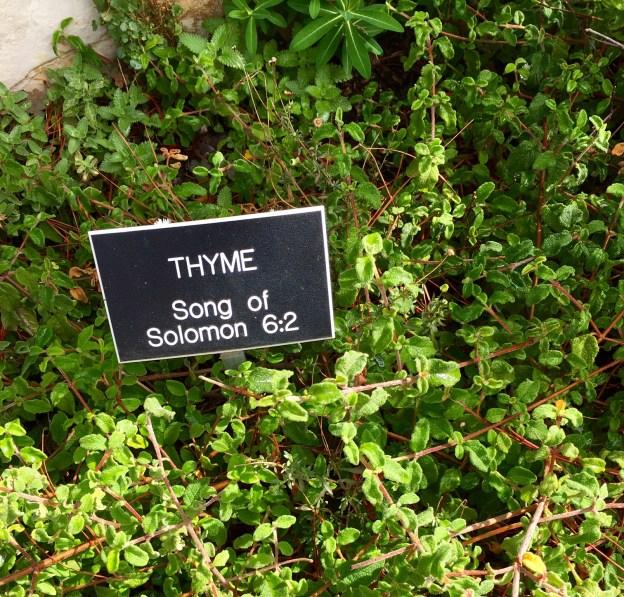 thyme