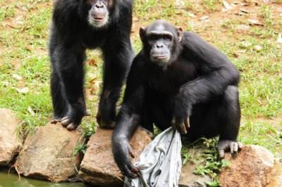 playful chimps