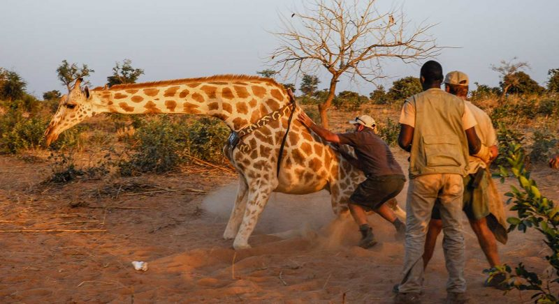 Conservation safaris, tagging a giraffe