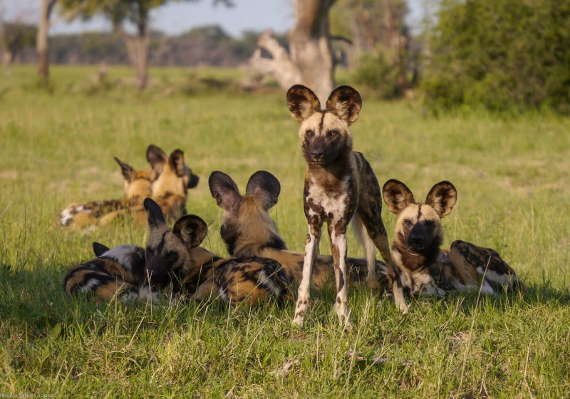 conservation safaris, painted dog