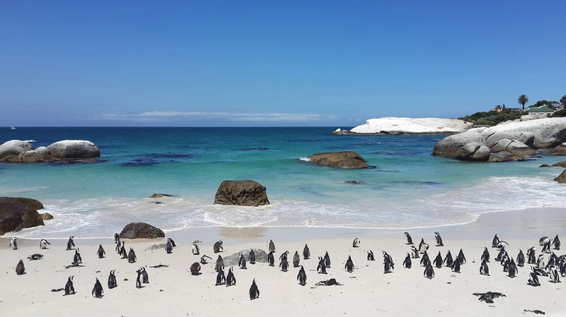 south africa penguins on a beach