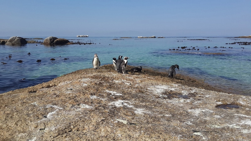 Colony of South African Penguins on Boulders Beach