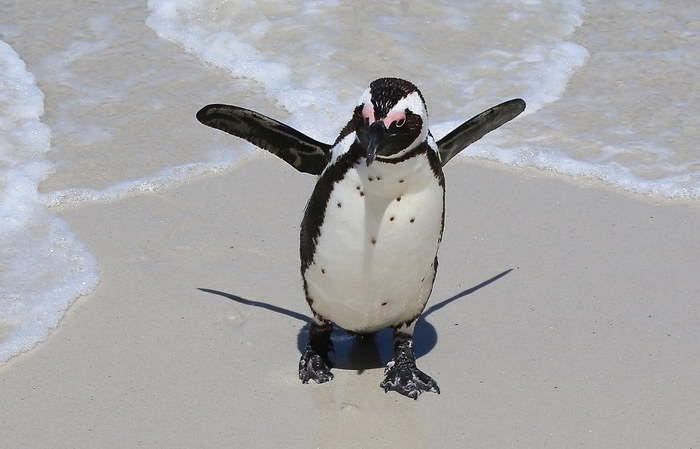 south africa penguins on the beach