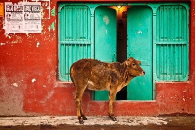 street animals in india