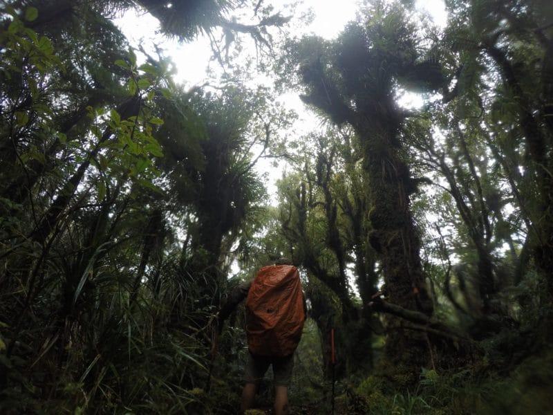 Te Araroa Trail raetea forest