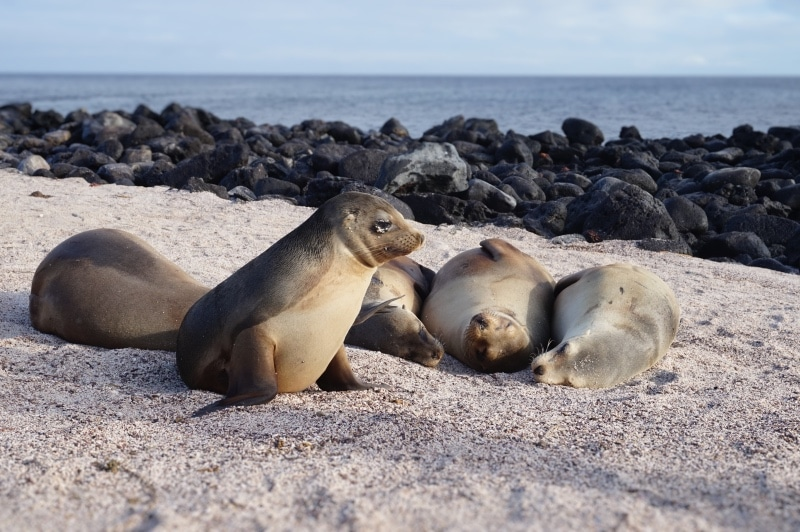 Sealions on the beach in the Galapagos