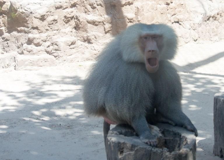 Annoyed baboon