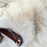 Šelma s cejchem zabijáka: Co jste nevěděli o vlkovi