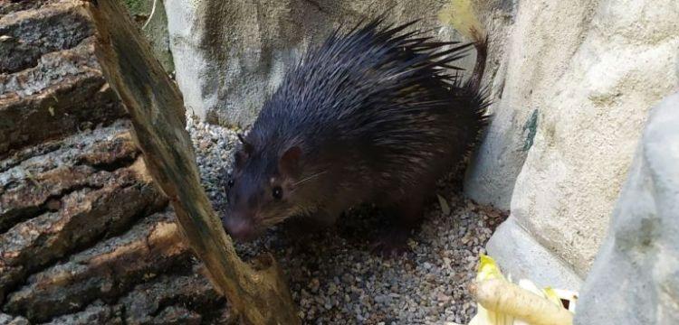 Zoo Liberec začala s chovem osináků afrických