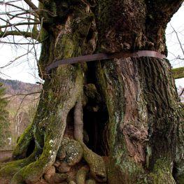 Znáte naše posvátné stromy?