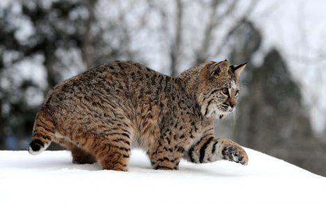 02 - Dospělý samec váží průměrně 25 kg, samice pak 19 kg.