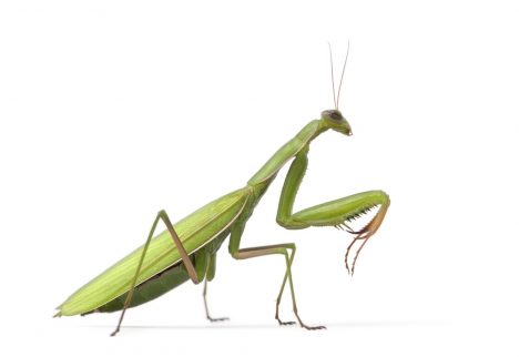Female European Mantis or Praying Mantis, Mantis religiosa
